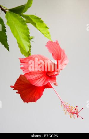 Single red hibiscus flower - Stock Photo