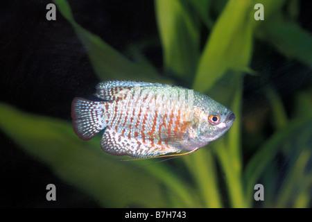 Dwarf Gourami (Colisa lalia), female - Stock Photo