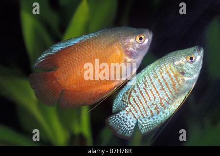 Dwarf Gourami (Colisa lalia), pair - Stock Photo