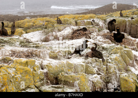 Shags phalacrocorax aristotelis, nesting on Staple Island, Farne Islands, UK - Stock Photo