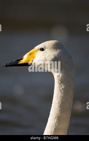 Swan (Cygnus cygnus) head - Stock Photo