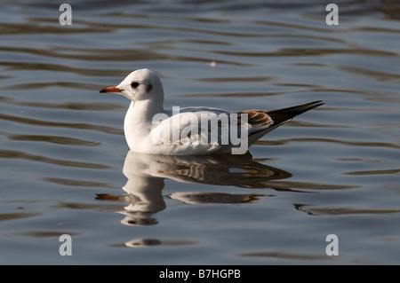 Black headed Gull (Larus ridibundus) on water 1st winter bird - Stock Photo