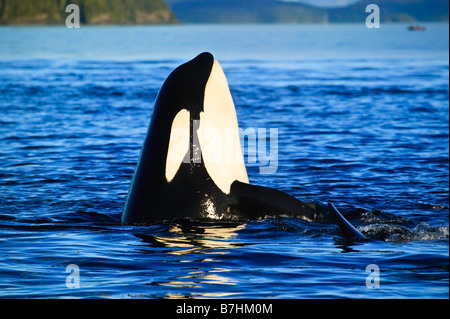 A large Orca Killer whale is spy hopping in the blue pacific ocean. - Stock Photo