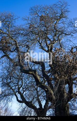 Bare winter tree UK Spanish chestnut - Stock Photo