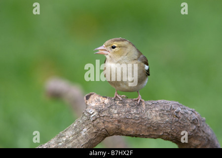 Chaffinch Fringilla coelebs adult female perched on a dead branch - Stock Photo