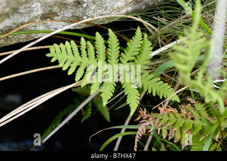Beech Fern, phegopteris connectilis - Stock Photo