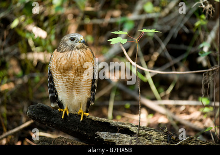 Wild non captive non habituated Red shouldered Hawk Buteo lineatus in the Fakahatchee Strand in the Florida Everglades - Stock Photo