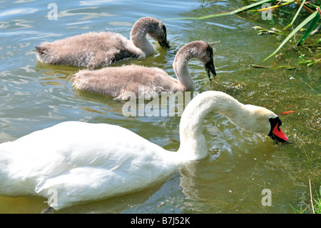 Swan family in the Big Brombach Lake in the holiday region Fränkisches Seenland, in Bavaria, Germany - Stock Photo