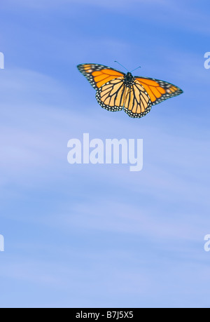 Monarch Butterfly in flight. - Stock Photo