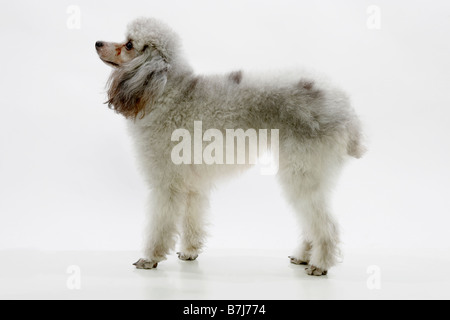 Profile of standard poodle standing - Stock Photo
