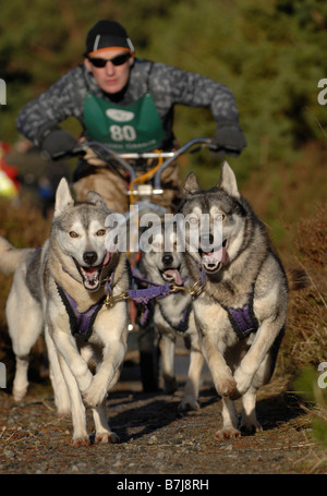 A competitor in a Siberian Husky dog sled competition held in the Scottish Highlands - Stock Photo
