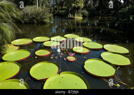Longwood Hybrid of Victoria Water Lily, Bok Tower Gardens, near Lake Wales, Central Florida, USA - Stock Photo