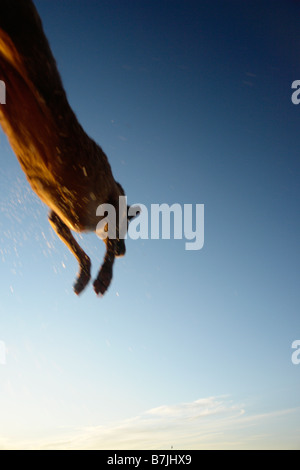 Dog leaping after stick into Clear Lake; Canada, Manitoba, Riding Mountain National Park - Stock Photo