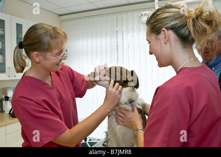 veterinary checking teeth of a Border Collie dog - Stock Photo