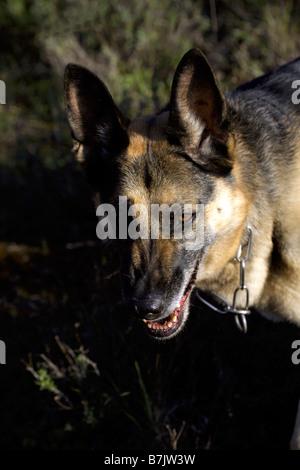 Snarling German Shepherd dog Alsatian teeth bared Rex vertical - Stock Photo