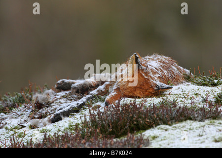Red Fox Vulpes vulpes carcass lying on the side of a mountain in the snow in winter - Stock Photo