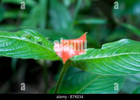 Hot lips flower Salvia microphylla Costa Rica - Stock Photo