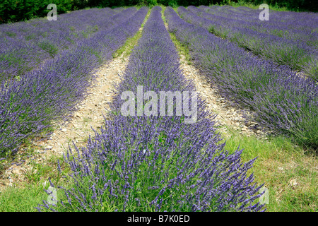 Lavender field in the French Provence near Sault, France - Stock Photo