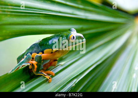 Splendid leaf frog (agalychnis calcarifer) in Costa Rica - Stock Photo