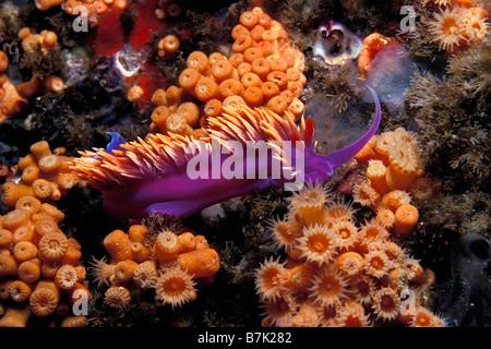 Spanish shawl Flabellina iodinea California Pacific Ocean - Stock Photo