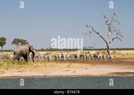 Elephant Zebra at the water Savuti - Stock Photo