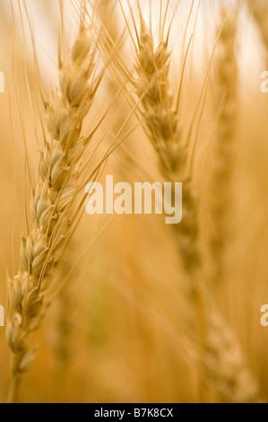 Close-up of heads of wheat, Saskatchewan, Canada