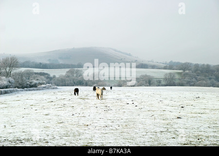 Horses grazing in snow on the South Downs. - Stock Photo
