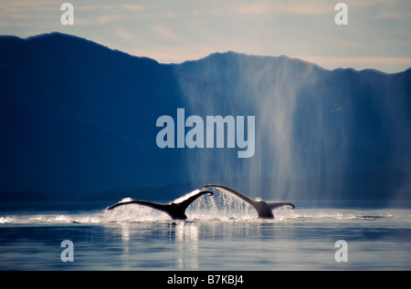 Pair of humpback whales sounding, Icy Strait, Southeast Alaska - Stock Photo