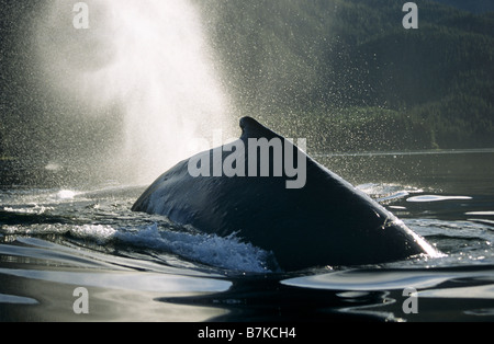 Humpback Whale surfacing and blowing, Tenakee Inlet, Southeast Alaska - Stock Photo