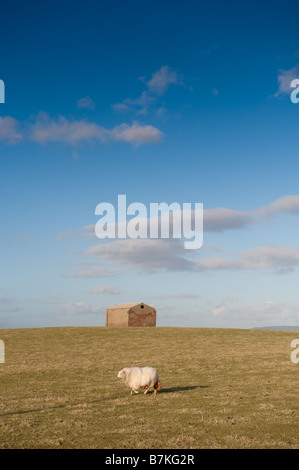A solitary sheep in a field with a brick shed on the skyline, wales UK - Stock Photo