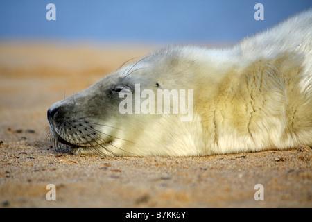 Grey Seal Pup Halichoerus Grypus Horsey Gap Norwich Norfolk - Stock Photo