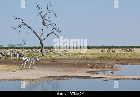 Zebras at Savuti Marsh - Stock Photo