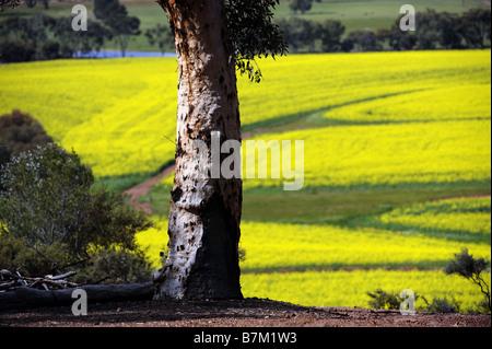 A lone Eucalypt tree overlooking a field of canola near Brookton in Western Australia. - Stock Photo