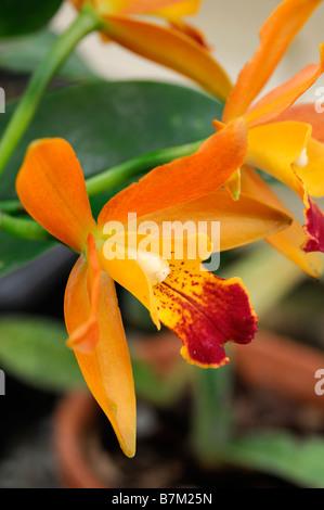 cattleya hybrid orchid orange flowers open bloom blossom unusual, Beautiful flower