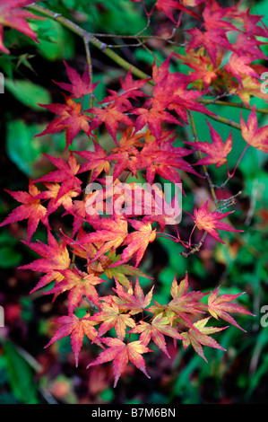 Orange yellow and fiery red coloured acer palmatum leaves leaf autumn autumnal fall color colour tree trees - Stock Photo