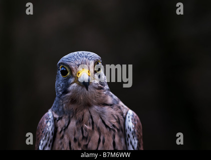A male Kestrel Falco tinnunculus - Stock Photo