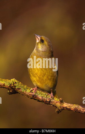 greenfinch carduelis chloris perched on lichen covered branch - Stock Photo