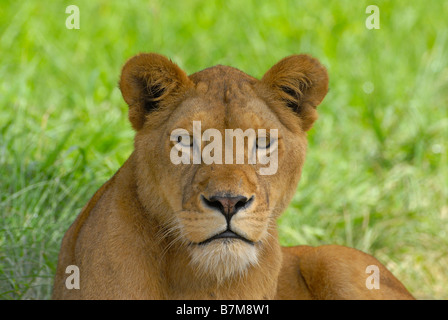lioness in the Natal Lion Park near Pietermaritzburg, capital of Kwazulu Natal Province of South Africa - Stock Photo