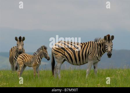 Burchell's Zebra family grazing on green grass in Midmar Dam Game Reserve, Kwazulu Natal Midlands, near Howick. - Stock Photo