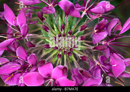 Close up of Cleome spinosa flower head (Spider Flower) - Stock Photo