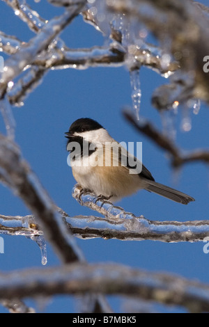 Black-capped Chickadee perched on an ice encrusted branch after ice storm. - Stock Photo
