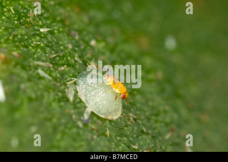 Trichogramma parasitic wasp laying eggs in macadamia nutborer egg - Stock Photo