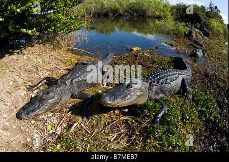 American Alligator Alligator mississippiensis basking in the sun in Everglades National Park Florida - Stock Photo