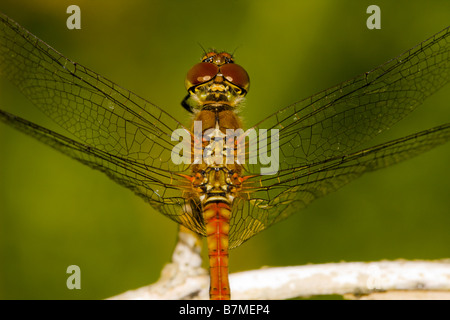 Close up of male Common Darter dragonfly - Stock Photo