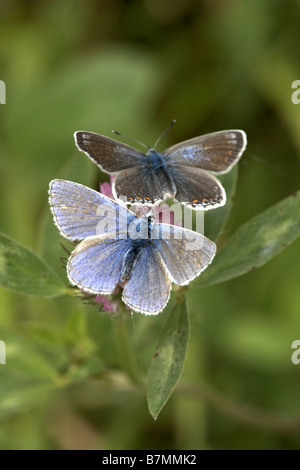 Two common blue butterflies Polyommatus icarus male and female Pulfin Bog nature reserve East Yorkshire UK - Stock Photo