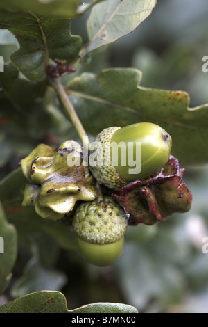 Knopper Gall Andricus quercuscalicis created on acorns in the autumn by a single agamic wasp - Stock Photo