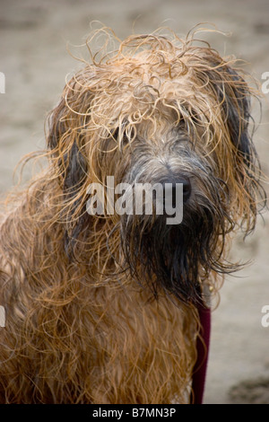 Wet shaggy dog - Stock Photo