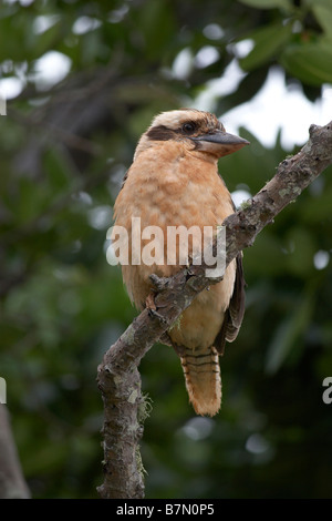 Kookaburra (Dacelo novaeguineae) at Mission beach, Northern Queensland - Stock Photo