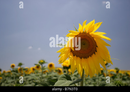 Yellow sunflowers in field at Arcos de la Frontera Golf course in Southern Spain - Stock Photo