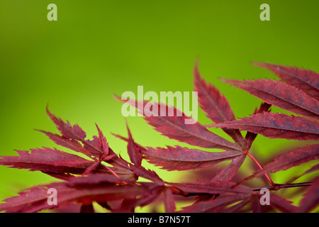 red leafs (acer palmatum) - Stock Photo